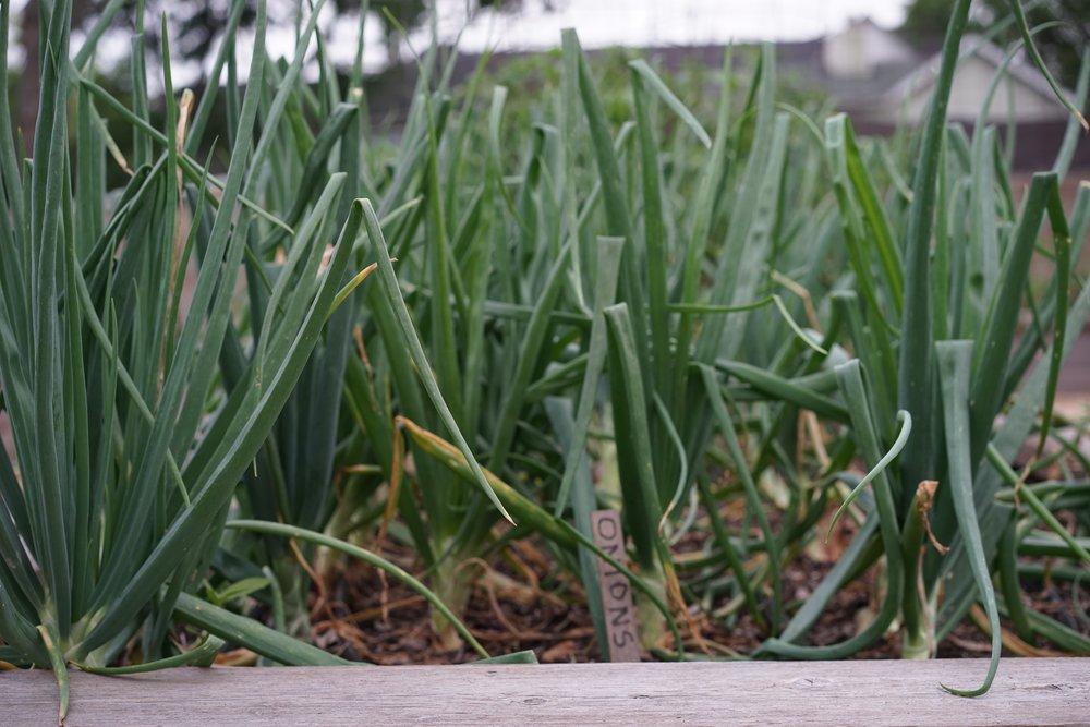 Alliums - Winter.jpg
