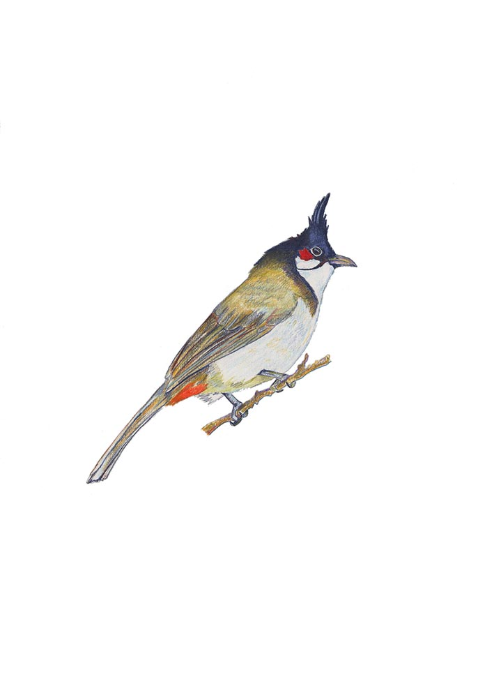 Bird of grandpa Red-whisked Bulbul.jpg