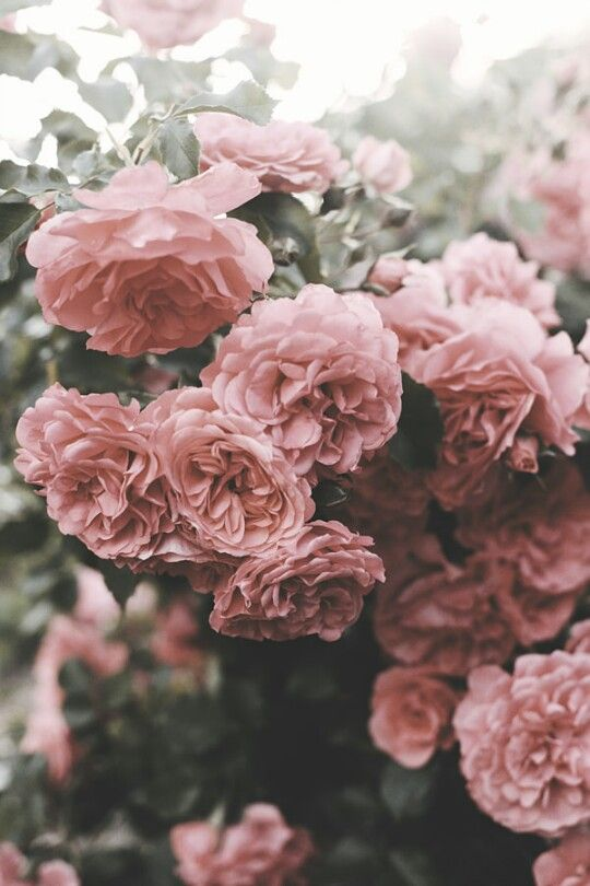 lush roses for rose perfumes
