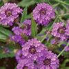 0318-verbena-flower.jpg