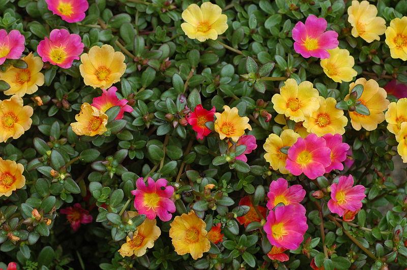 800px-Unidentified_Portulaca_flowering_in_a_garden_1.jpg
