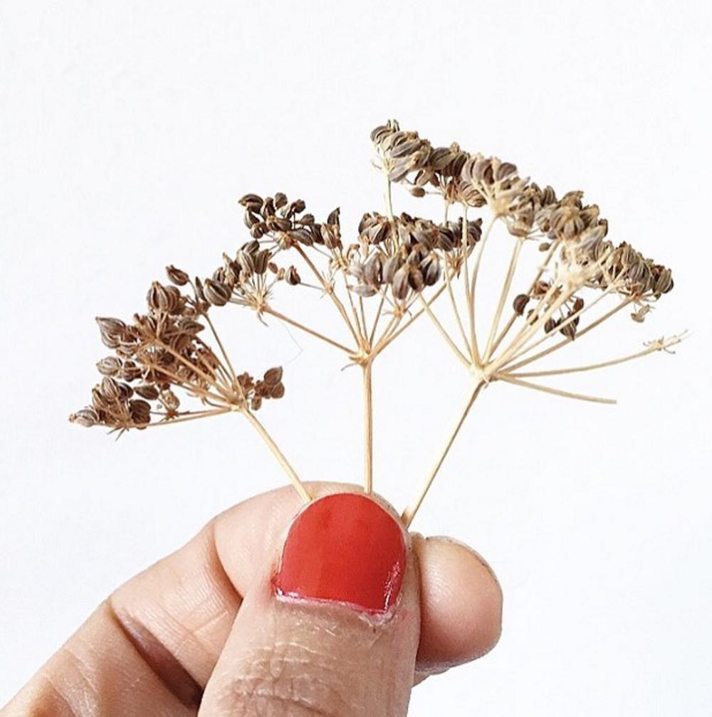 ANISFRÜCHTE  (lat. Fructus anisi)  Beschreibung : Eine kleine, 30-50cm hohe Dolde mit Spaltfrüchten. Sammeln und Trocknen: gesammelt werden die reifen, frischen Samen der Pflanze. Die Reife kann man an kleinen braunen Rippchen erkennen.  Inhaltsstoffe:  Anis enthält bis zu 2-6% ätherisches Öl, sowie Eiweiße, Fette und Flavonoide.   Wirkung und Verwendung:  Anis wirkt durch das ätherische Öl Anaethol krampflösend, hustenschleimlösend und auch antibakteriell. Es wird vor allem als Tee bei Verdauungsbeschwerden und Erkältungskrankheiten angewendet. Traditionell durch die krampflösende Wirkung auch bei Regelbeschwerden und zur Förderung der Milchbildung.   Dosierung:  Für einen Tee 1 ½ Teelöffel der angestoßenen Früchte mit siedendem Wasser übergießen und 15 Minuten ziehen lassen. 2-3 Mal täglich nach den Mahlzeiten eine Tasse trinken. Anis eignet sich als Geschmacksgeber in Teemischungen.  -> Rezepturen