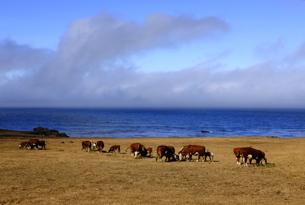 Big Sur Cattle