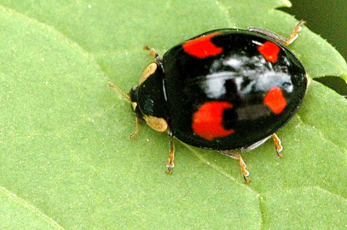 Harmonia axyridis  |  James Lindsey/Wikimedia Commons  [ CC BY-SA 3.0 ]