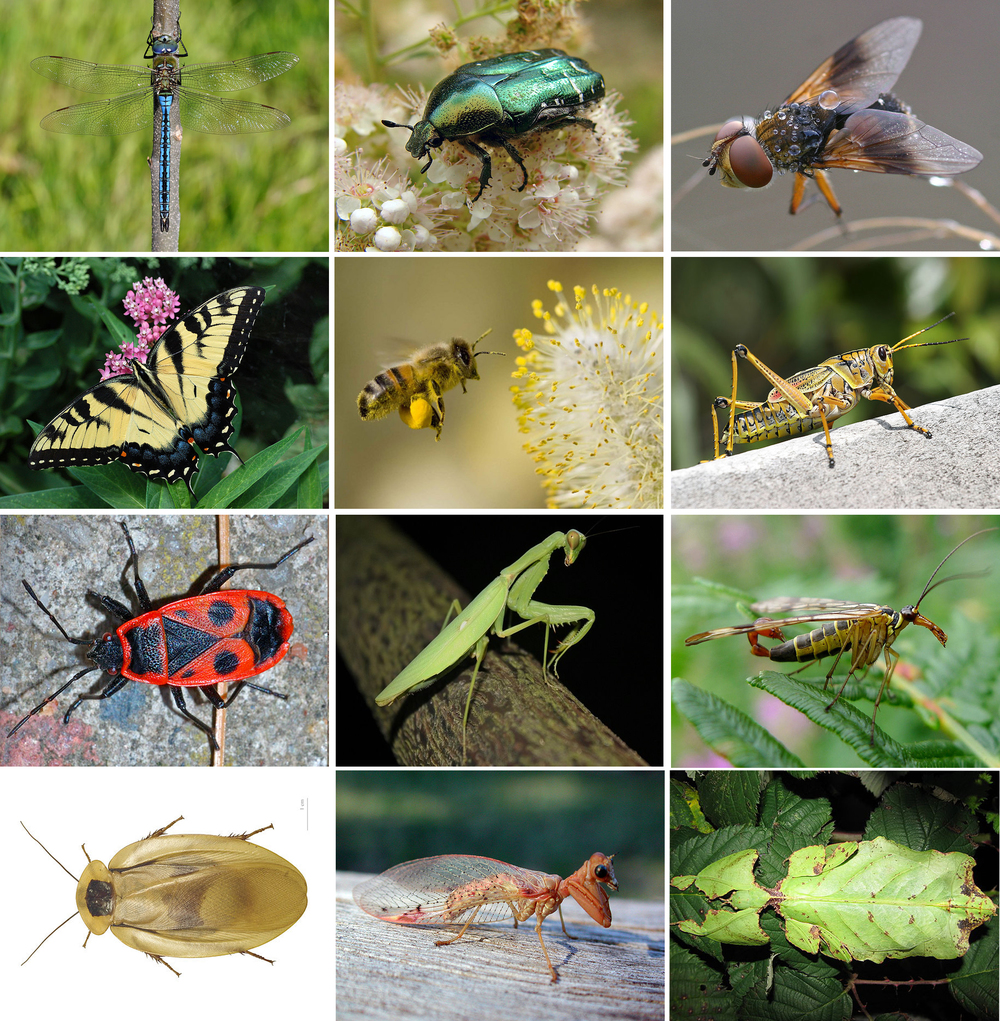 Insect collage |  Wikimedia Commons  [ CC BY-SA 3.0 ]