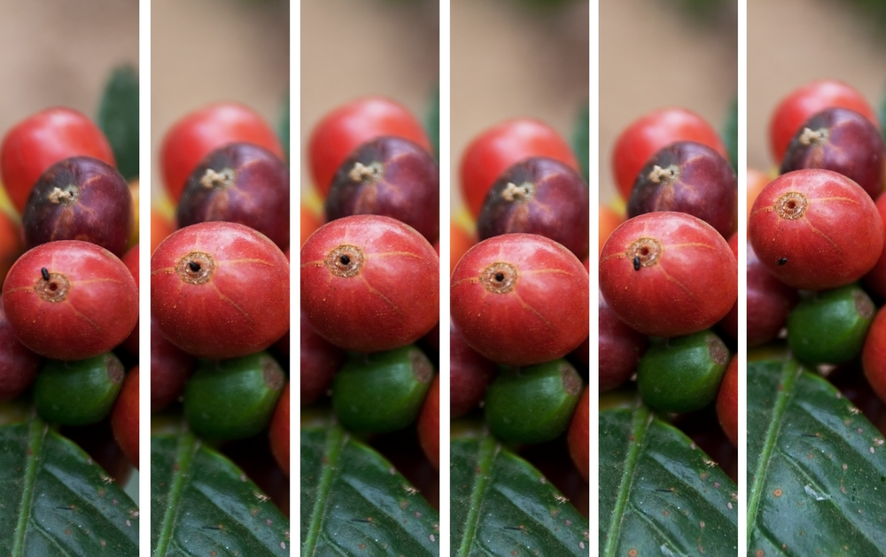 Hypothenemus   hampei  entering and exiting a coffee cherry |  Michael.C.Wright/Wikimedia Commons  [ CC BY-SA 4.0 ]