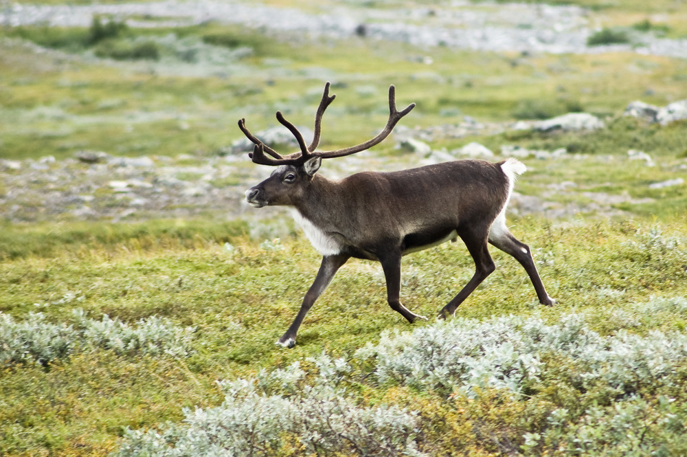Reindeer |  Alexandre Buisse/Wikimedia Commons  [ CC BY-SA 3.0 ]