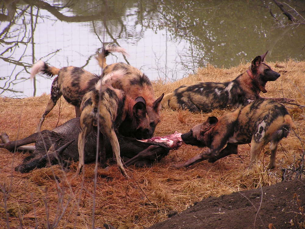 African wild dog pack consuming a blue wildebeest, Madikwe Game Reserve, South Africa |  Masteraah  /Wikimedia Commons  [ CC BY-SA 3.0 ]