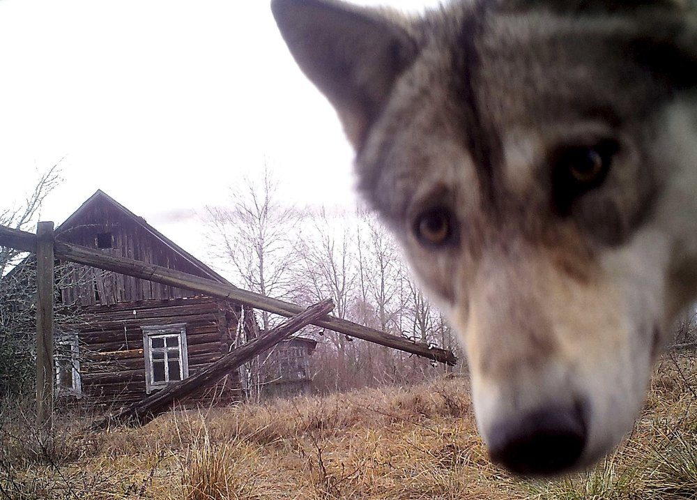 A wolf looks into the camera at the Chernobyl nuclear site in the abandoned village of Orevichi, Belarus |  Vasily Fedosenko/Reuters