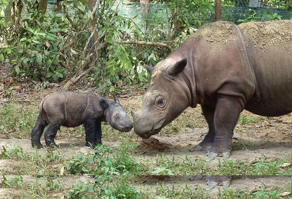 Dicerorhinus   sumatrensis  |  International Rhino Foundation/Wikimedia Commons  [ CC BY 2.0 ]