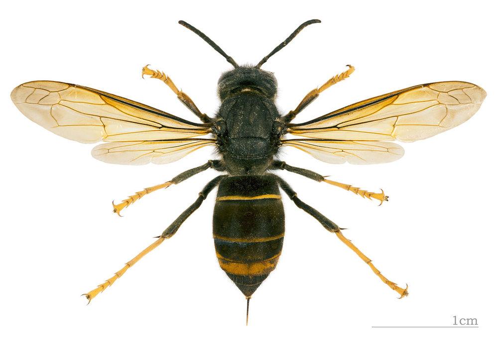Vespa velutina nigrithorax  |  Didier Descouens/Wikimedia Commons  [ CC BY-SA 4.0 ]