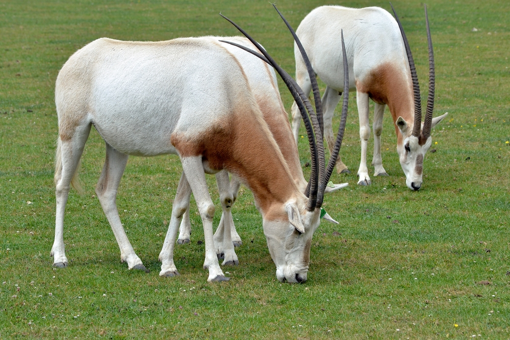 A group of scimitar oryx at Marwell Zoo in Hampshire, Great Britain | The Land/Wikimedia Commons [CC BY-SA 3.0]