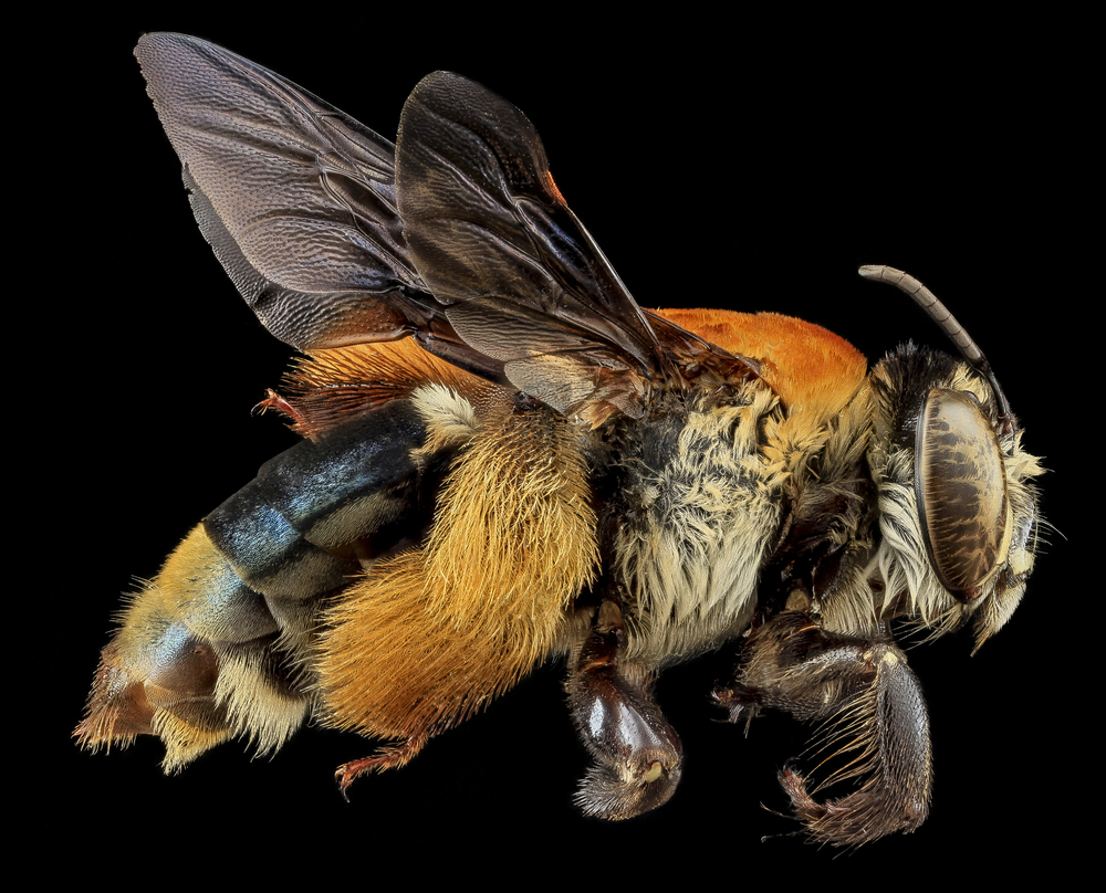 Centris   decolorata  |  USGS Bee Inventory and Monitoring Lab/Wikimedia Commons  [ CC BY 2.0]