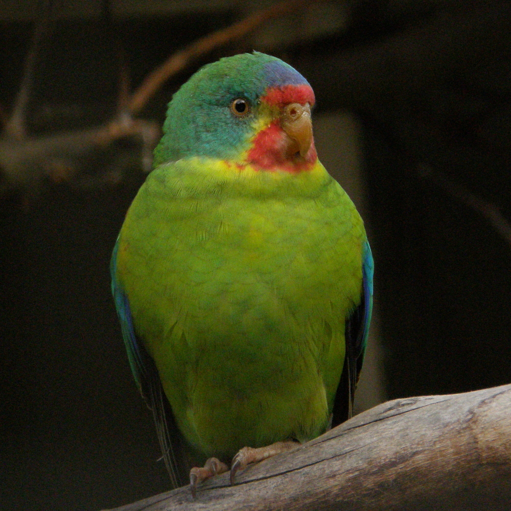 Swift Parrot (Lathamus discolor) | Frank Wouters /Wikimedia Commons [CC BY 2.0]