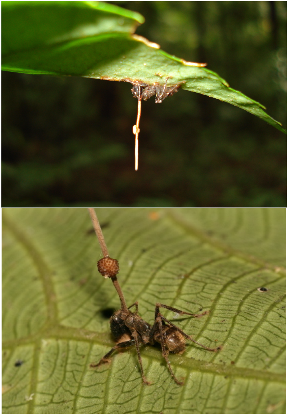 Camponotus leonardi infected with Ophiocordyceps unilateralis | David P. Hughes & Maj-Britt Pontoppidan/Wikimedia Commons [CC BY 2.5]
