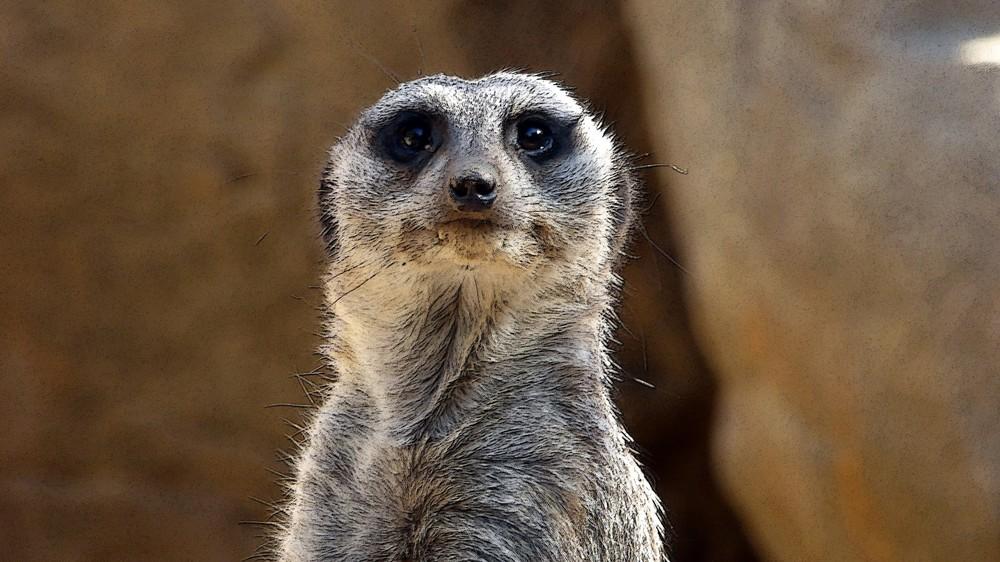 Meerkat | [public domain]
