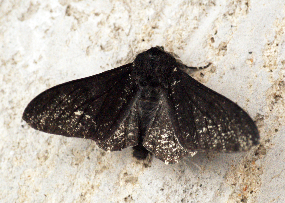 Peppered moth | Ben Sale/Wikimedia Commons [CC BY 2.0]
