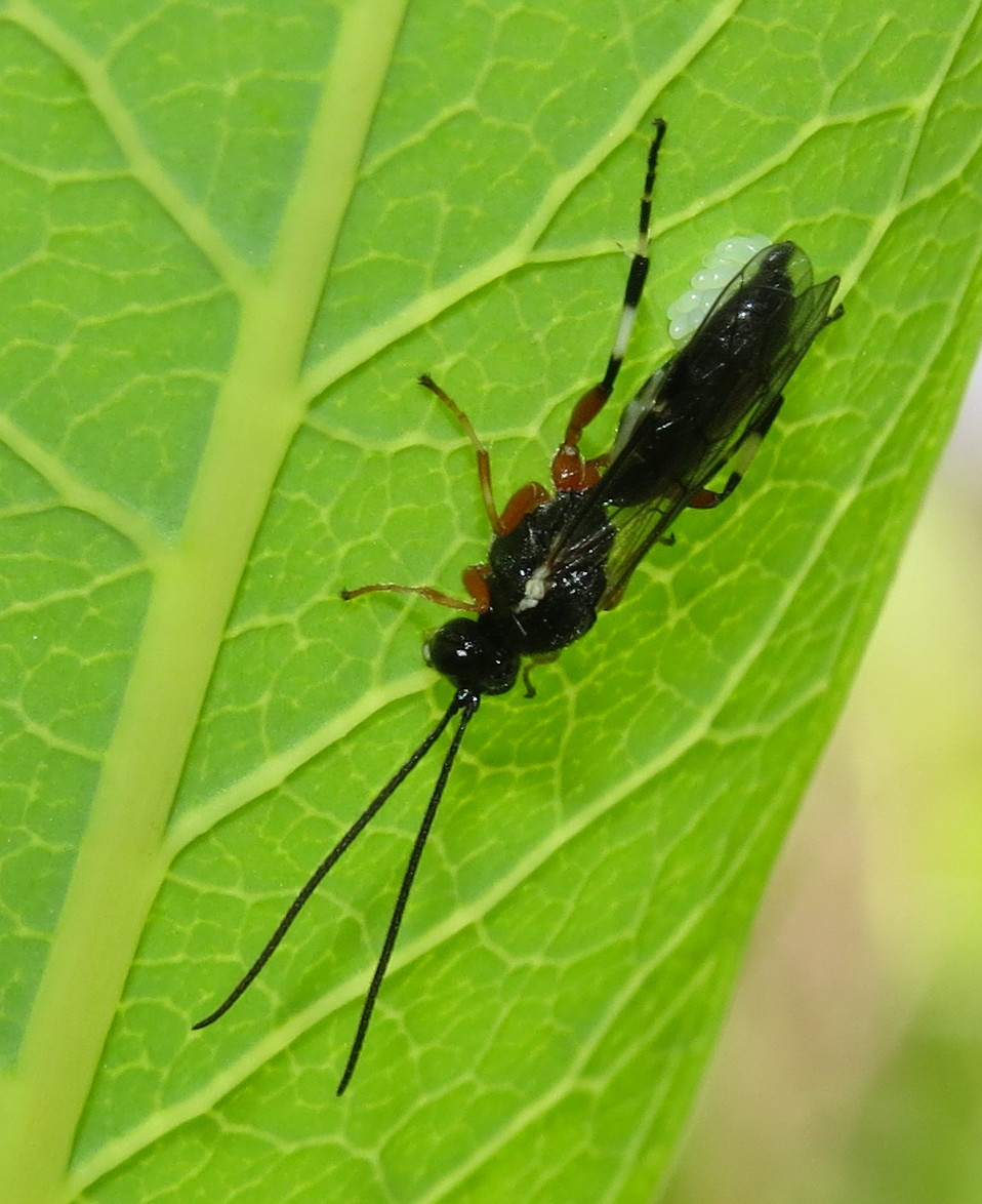 Ichneumon wasp with cluster of eggs | Bug Eric