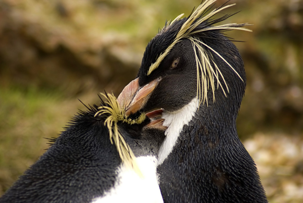 Rockhopper penguins | Chris Huh/Wikimedia Commons [CC BY-SA 4.0]
