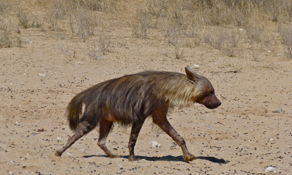 Brown hyena | Bernard Dupont/Wikimedia Commons [CC BY-SA 2.0]