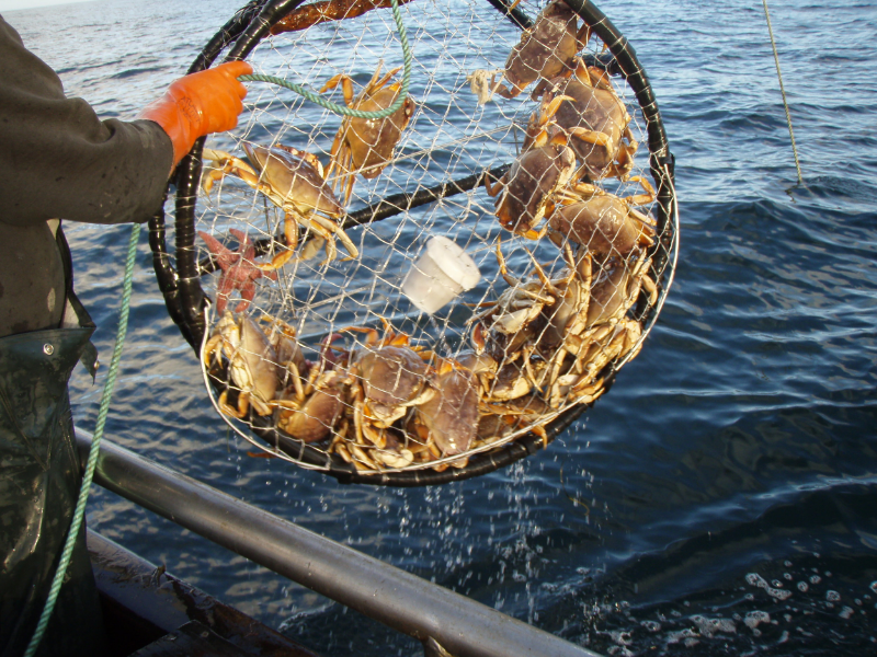 The start of the Dungeness crab season was delayed due to the presence of domoic acid in seafood along the coast of California, Oregon, and Washington (image from California Department of Fish and Wildlife News)