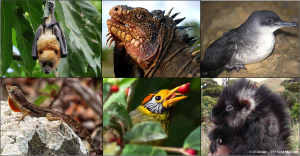 Critically Endangered and Endangered island species. From top left to right: Temotu flying fox by (by R. Pierce), Lesser Antillean Common Iguana (by G. Moulard), Balearic shearwater (by D. Oro), Desecheo Anole (by Island Conservation), Flame-templed Babbler (by A. Pascua), Giant Busy-tailed Cloud Rat (by D.S. Balete).