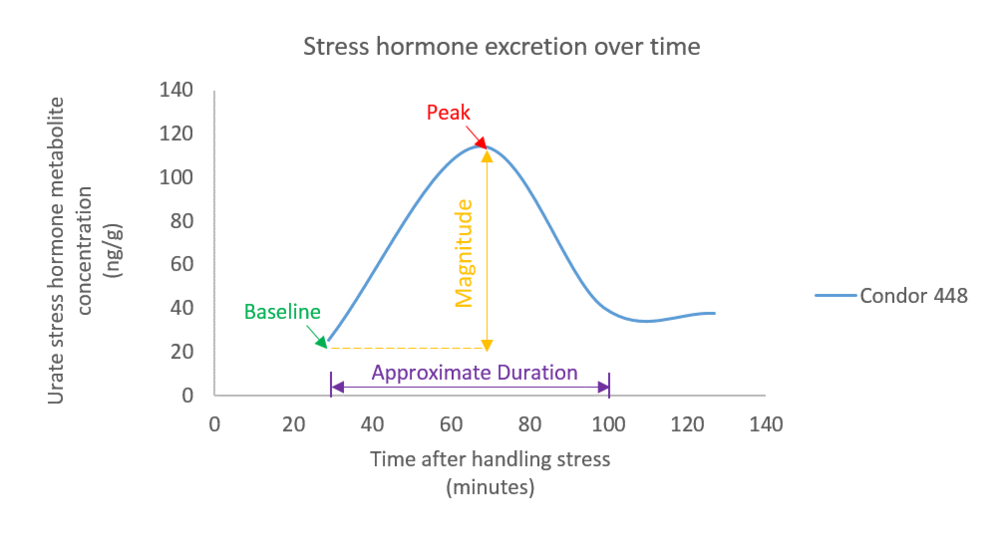 Stress hormone excretion profile over time for condor 488. Arrows indicate baseline (green) and peak (red) hormone concentrations, as well as duration (purple) and magnitude (orange) of the hormonal response to a handling stressor. All of these measurements will be used to assess whether lead exposure alters stress hormone release in condors.