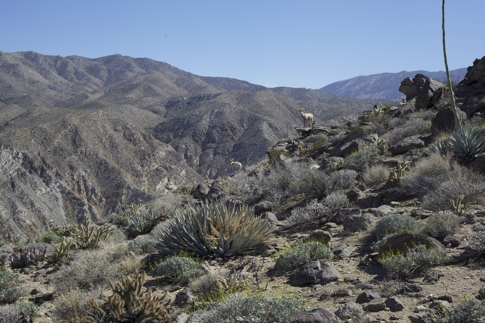 Hwy 74: Surrounded by agave at 2770 ft. (How many bighorn sheep can you spot?)...