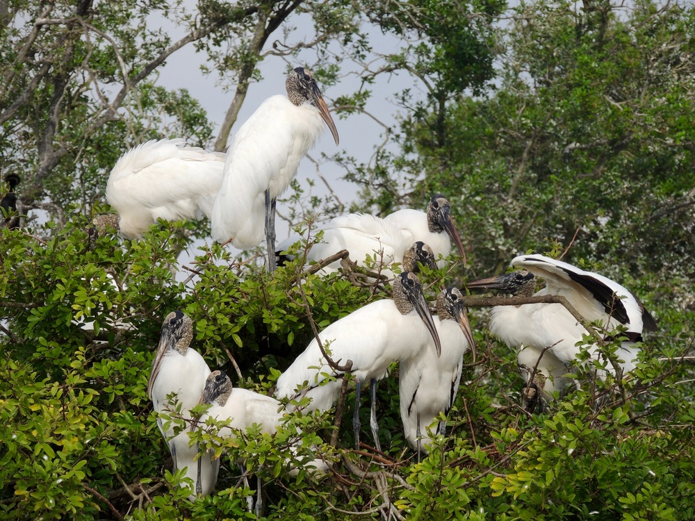 Federally threatened wood storks make nests in Brazilian pepper, an exotic invasive tree in Central Florida. Photo credit: Zac Caple.