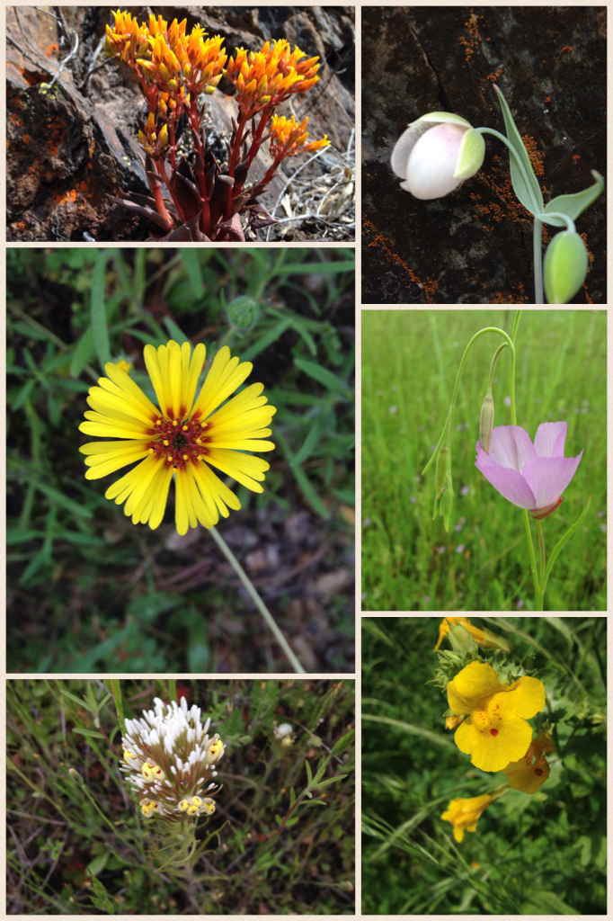 Wildflowers of the Sierra Nevada foothills (photo credit: C. Schwind).