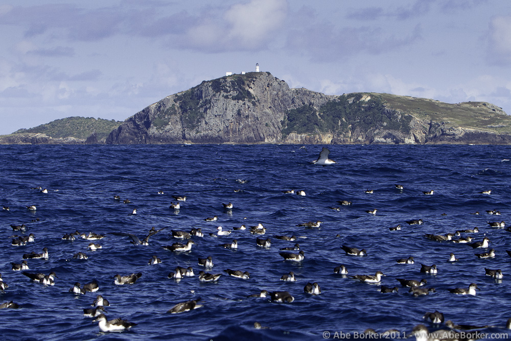 Buller's Shearwaters and Burgess Island lighthouse.