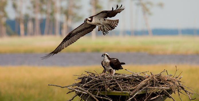 Estuarine habitats sustain many animals, including the osprey seen here in Chesapeake Bay. Photo: Bob Quinn.