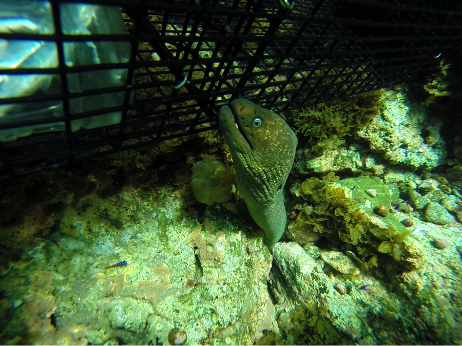 A California moray emerging from a crevice between two boulders to explore one of our traps not long after it was deployed.  You can see the bait canister toward the top left of the image.