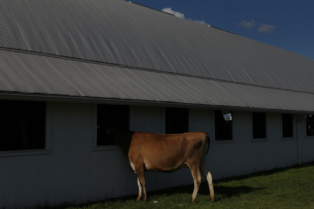 Cattle take shade at the Johnson County Fairgrounds.