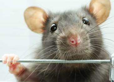 Rodent & Pest Control Services Murrieta, California.