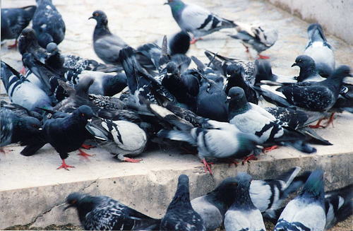 Feral pigeons are the winged versions of rats.