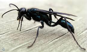 Organ-Pipe Wasp