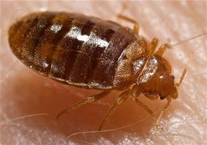 Bed Bugs live in bedding, mattresses and other furniture.