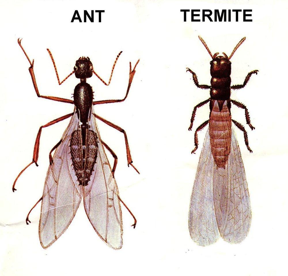 Flying Ants or Flying Termites?