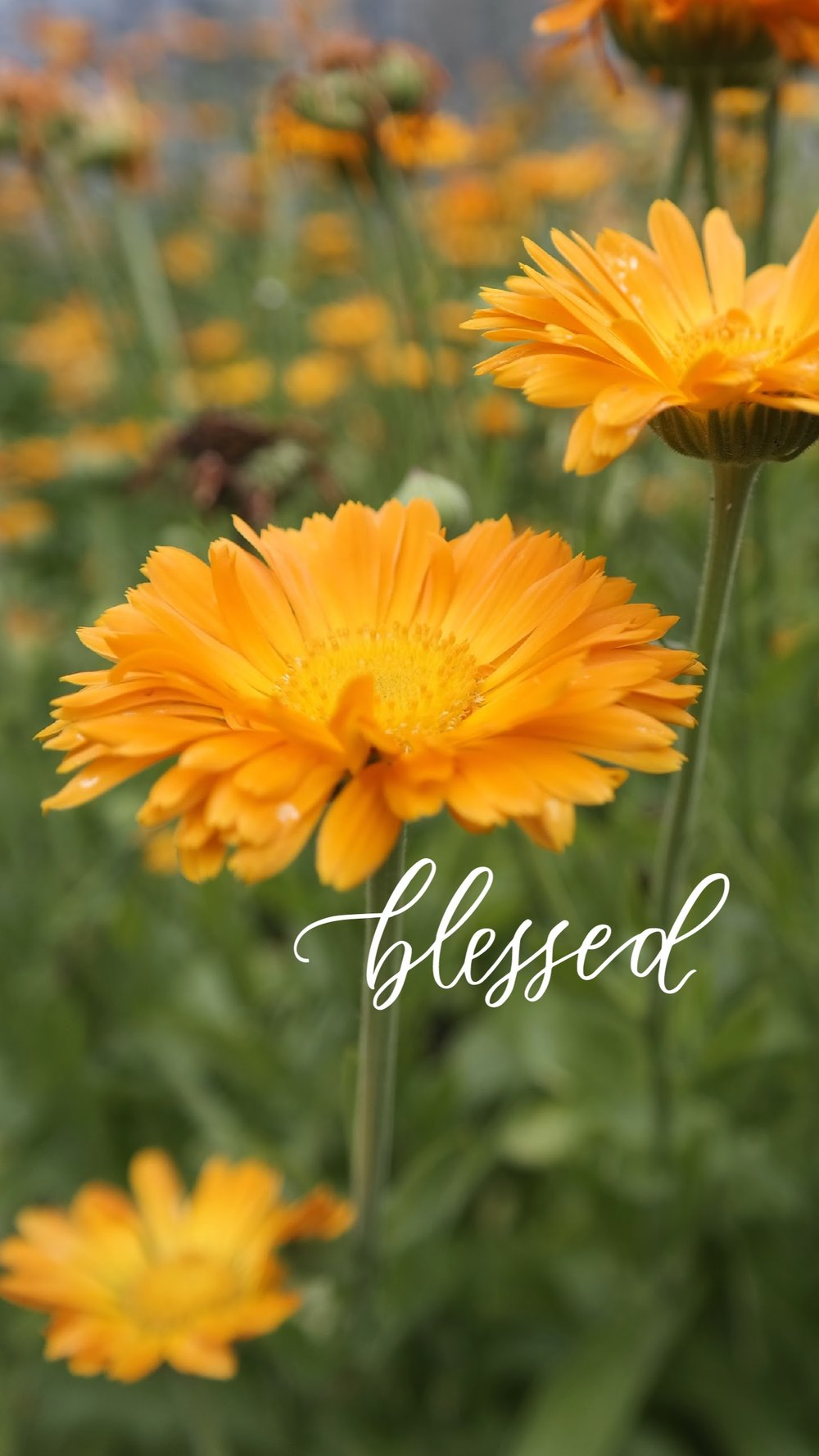 orange-daisies-blessed.jpg