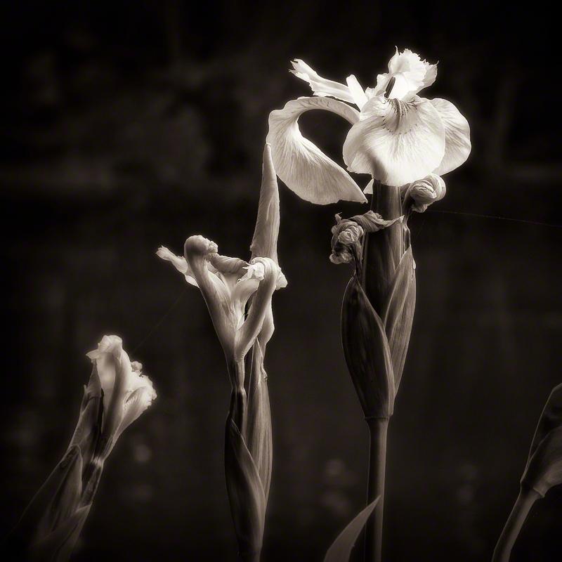 Yellow Flag Iris, sepia
