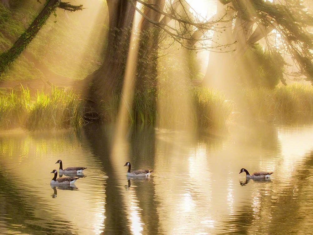 Geese in Sunbeams