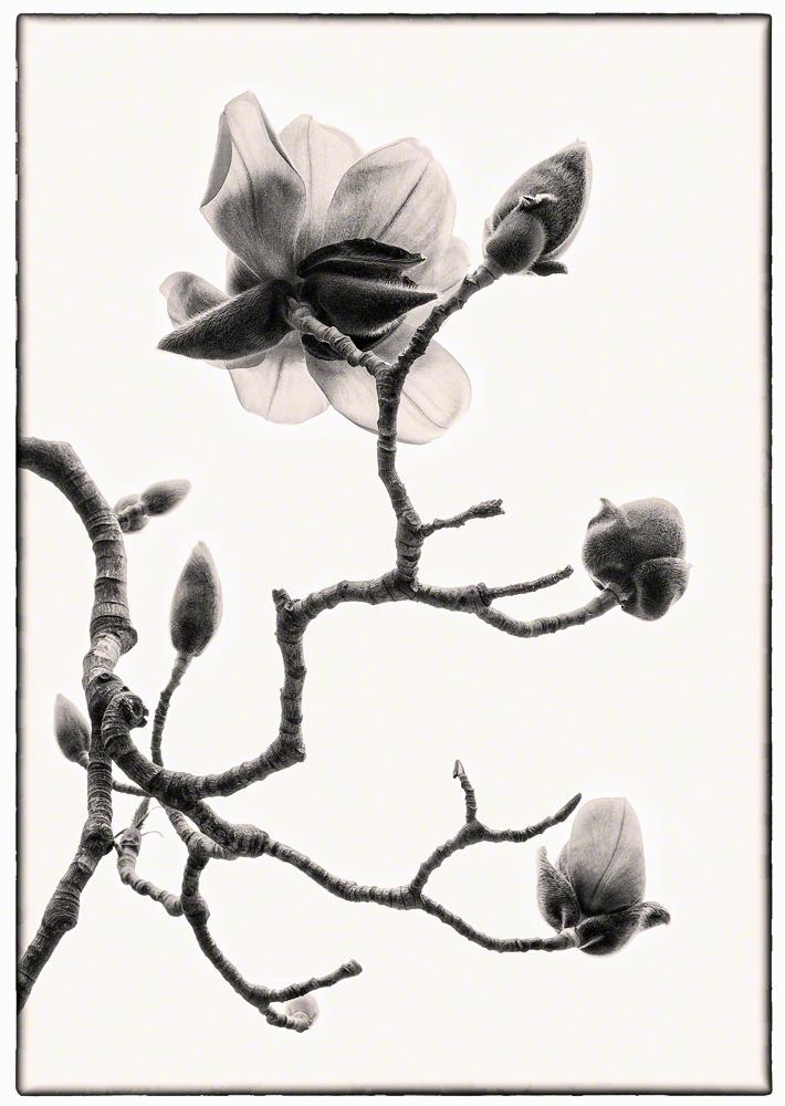 Magnolia Branch, Sepia
