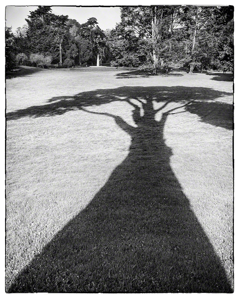 Monterey Cypress Shadow