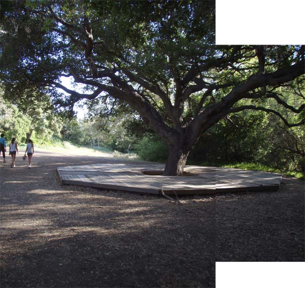 Image of The Big Tree at the Entrance to Temescal Canyon, where we will meet at 4:32PM.