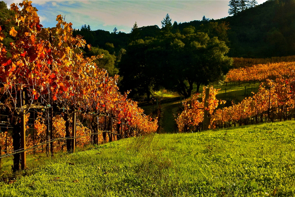 Fall Vineyard.jpg