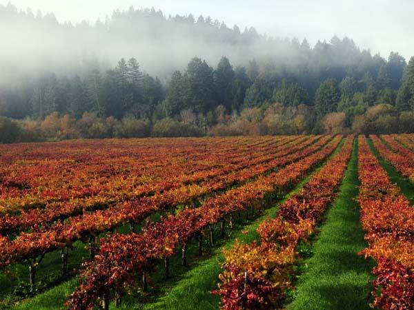 A lovely shot of fall vineyards in Guerneville by Carey Sweet.