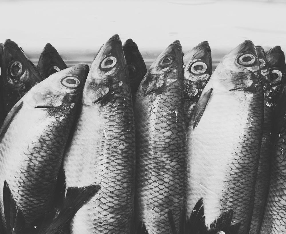 Migratory Sardines