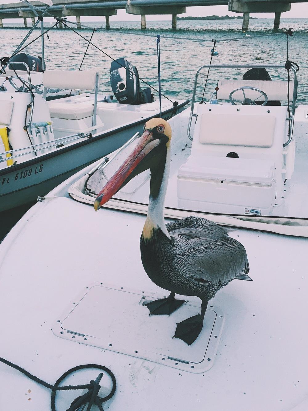 Pelican Pilot