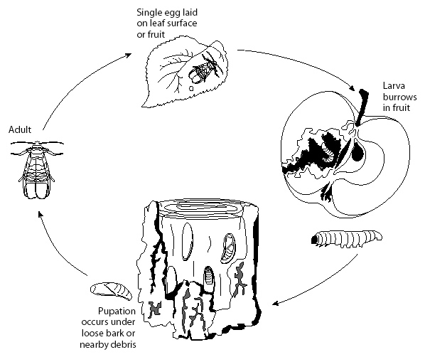Life cycle of the codling moth